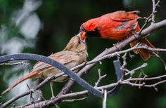 A male Northern Cardinal feeding his young.