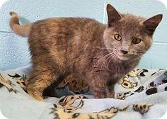 Prattville, AL - Domestic Mediumhair. Meet Macy 26147, a cat for adoption. http://www.adoptapet.com/pet/17481659-prattville-alabama-cat