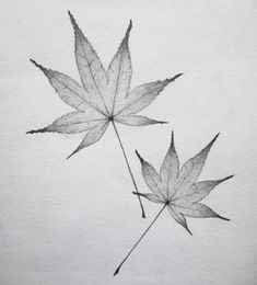 Gallery For > Japanese Maple Leaves Drawing