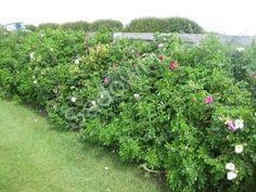 Róża dzika na żywopłot Mikoryza+Balot