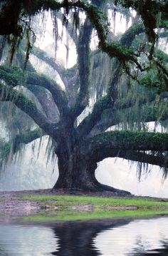 One of the Oak Trees after a downfall of rain  at Jungle Gardens located on Avery Island.--- Louisiana Travel