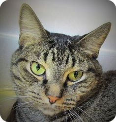 Philadelphia, PA - Domestic Shorthair. Meet Brian (at Buzzy's), a cat for adoption. http://www.adoptapet.com/pet/13917024-philadelphia-pennsylvania-cat