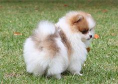 Freddy pomeranian puppy