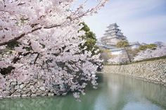Another world and universe citizen. — milkpeu: Postcard Himeji (by Ippei & Janine. Cool Pictures Of Nature, Love Pictures, Palacio Imperial, Places To Travel, Travel Destinations, Himeji Castle, Cherry Blossom Season, Cherry Blossoms, Visit Japan