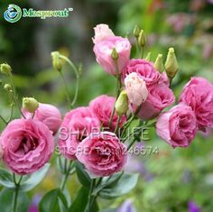 100PCS Red Eustoma Seeds Perennial Flowering Plants Lisianthus Multicolor for DIY Home & Garden