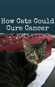 The Doctors explored how cats are helping find a cure for cancer. http://www.recapo.com/the-doctors/the-doctors-cancer/drs-cats-helping-cure-cancer-eating-while-driving-dangers/