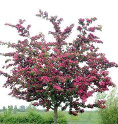 Rosenhagtorn 'Paul's Scarlet'
