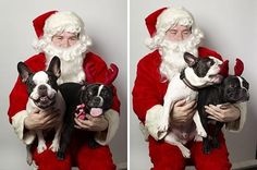 """""""Ho Ho Ho..."""", Frenchie Fight in Santa's Arms, French Bulldogs"""