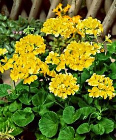 Best 11 100 Pcs Colorful Bonsai Geranium Flower Rare Variegated Geranium Bonsai Potted Indoor Rooms Home Garden Flower For Bonsai Plant – SkillOfKing. Geranium Care, Geranium Plant, Geranium Flower, Unusual Flowers, All Flowers, Yellow Flowers, Beautiful Flowers, Garden Plants, House Plants