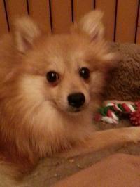 Maddie - Pomeranian