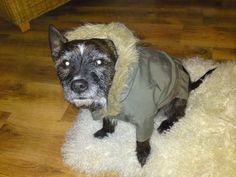 Too cute, little mod dog with parka.   http://theflossiefiles.com/