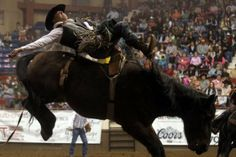 Kyle Bowers of Calgary, Alberta tries to hold on to Little Brother for the full eight seconds Friday night during the bareback riding competition at the first performance of the San Angelo Stock Show & Rodeo. Bowers was given 80 points for the ride.