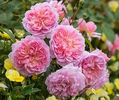 Neat, rosette-shaped blooms on a low, spreading shrub. Buy Anne Boleyn from David Austin with a 5 year guarantee and expert aftercare. Anne Boleyn, Rose Companion Plants, Companion Planting, David Austin Rosen, Mixed Border, Rose Foto, Ronsard Rose, Types Of Roses, Shrub Roses