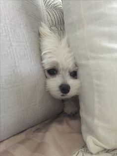 Lola's hideout - Maltese love