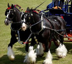 Draft Horses Clydesdale