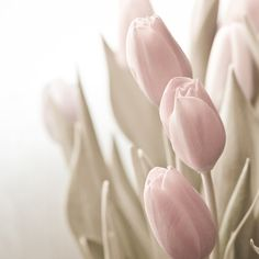 Photo of Soft Pink Tulips with Sage Green Leaves Entitled Whisper - Fine Art Photo - 8 X 8 on Etsy, $25.00