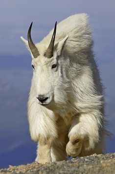 Mountain Goat  a.k.a.  Rocky Mountain Goat, Oreamnos americanus  -  North America