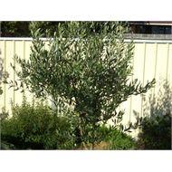 170mm Olea Europaea Kalamata Olive Tree Pick N Eat Range