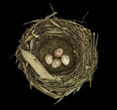 Well, a birds nest collected in China 1939