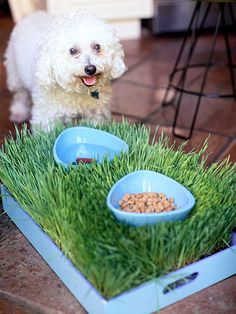 Grow wheat grass in a tray for your Dog or Cat's feeding bowls.  Also serves as a nutritious snack for the stuck indoors City pet and if your dog is a slobbery mess when drinking water you now have a place to catch all that water they leave behind.