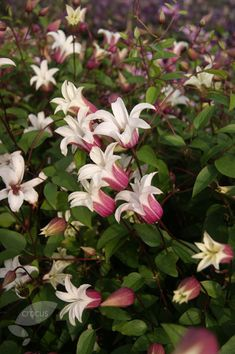Buy clematis (group 3) Clematis 'Princess Kate ('Zoprika') (PBR)': Delivery by Crocus                                                                                                                                                                                 More