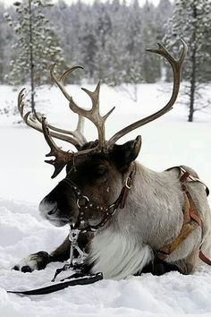 Did you know reindeer and caribou are actually the same animals. Caribou becomes reindeer when they are domesticated. Vida Animal, Mundo Animal, Beautiful Creatures, Animals Beautiful, Animals And Pets, Cute Animals, Tier Fotos, All Gods Creatures, Fauna