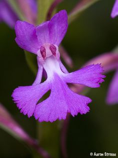 Flower-detail of Small Purple-fringed Orchid: Platanthera psycodes - Flickr - Photo Sharing!