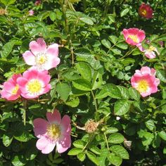 Dog Rose hedge plants (Rosa canina) produce stunning blushed pink flowers and can protect your home from intruders. Rose Petal Jam, Rose Petals, Hedging Plants, Shrubs, Summer Flowers, Pink Flowers, Flowers Nature, Beautiful Flowers, Rose Hedge