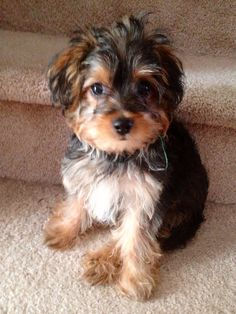 yorkiepoo. hands down, one of my favorite breeds!