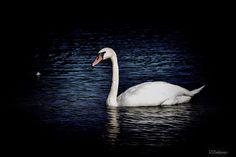 White swan  Animals photo by v_znakomov http://rarme.com/?F9gZi