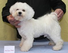 Bichon Frise Haircuts | Click for full size image