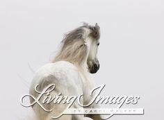 Ojai, CA, purebred horse, grey Andalusian stallion, running, from behind