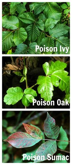 These are the three poisonous vines common to homes in our area - poison ivy, poison oak and poison sumac.  There are lots of natural ways to get rid of it in your yard without using poisonous chemicals.  thegardeningcook.com