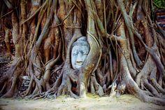 長い年月を経て木の根に包まれた仏頭。戦争で頭部だけが放置されたとガイドは説明する。苦しそうにも、心地よさそうにも見えるのが不思議(タイ・アユタヤ遺跡のワット・マハータート)=小高顕撮影