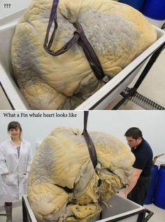 Fin whale heart? Yeah, it's big.