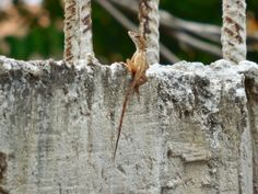 Dominican Republic Animals: Dominican Lizards (Lagartos, Lagartijas)