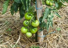 13 astuces pour bien faire pouss les tomates not – 17 votes Si vous ave … - Woodworking Potager Garden, Lawn And Garden, Vegetable Garden, Gardening Gloves, Gardening Tips, Balsamic Mushrooms, Garden Globes, Garden Markers, Drought Tolerant Plants