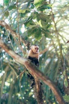 Capuchin Monkey in Manuel Antonio National Park Costa Rica If you love beautiful beaches, wildlife, and nature, you can not miss Manuel Antonio when traveling in Costa Rica. It is located in the center of the pacific coast and famous for its incredible diversity of plants and animals. In this blog post, we share the best things to do around Manuel Antonio Costa Rica, from wildlife spotting to waterfall chasing and the best places to stay in the area. Whale Watching Tours, Costa Rica Travel, Before Sunset, Most Beautiful Beaches, We Fall In Love, Pacific Coast, Beach Fun, World Traveler, Diversity