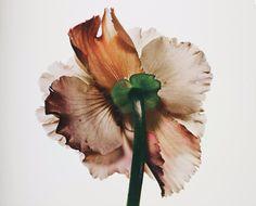 Irving Penn: Tuberouse Begonia (2007)
