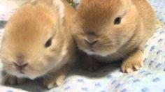【ヤバイ!キュン死する】萌え〜♪超かわいい♪ネザーランドドワーフの赤ちゃん(Rabbit/토끼/lapin/conejo/أرنب/兔子/кро...