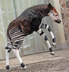 Okapi (Okapia johnstoni) born 27 december 2013 Antwerpen