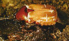 """""""Cetonia aurata"""". Cuando el insecto adulto abandona el estuche ninfal, no luce aún la típica y espléndida librea que lo caracteriza, debido a que los tegumentos no están todavía pigmentados."""