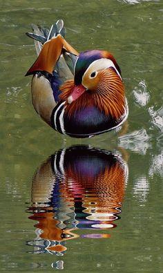 Mandarin duck-)