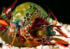 Absurd Creature of the Week: Ferocious, Fearless Mantis Shrimp Is the Honey Badger of the Sea - Wired Science