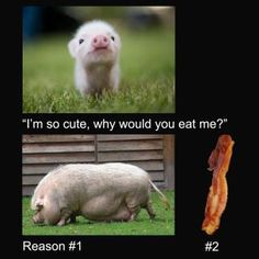 1000 images about pigs eating bacon on pinterest pigs - What do miniature pigs eat ...