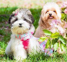 Photography by Sharlene Shih Tzu Puppy Havanese Puppy Havanese Puppies, Shih Tzu Puppy, Pets, Gallery, Funny, Photography, Animals, Baby Shih Tzu, Photograph