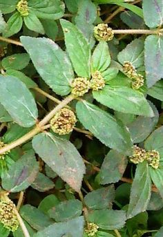 higunkaer - 0 results for gardens Ayurvedic Plants, Herbal Plants, Fruit Plants, Edible Plants, Natural Health Remedies, Herbal Remedies, Herbal Leaves, Medicinal Weeds, Different Fruits And Vegetables