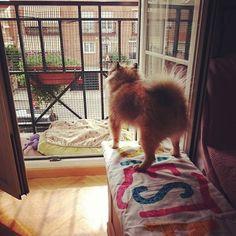 La calle es mía!  #pomeranian #cute #dogsofinstagram #instadog #spitz #dog #love #pom #petstagram  #dogstagram #lulu #fluffy #puppy #pet #luludapomerania  #dogoftheday #cane #instapom #pomstagram #pompom #instapuppy #germanspitz #boutiquedenancy