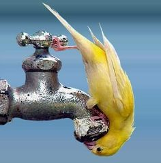 thirsty birdy-this is so fascinating and cute. We have dripper at the bird bath where the birds do this. Love to watch the birds. Pretty Birds, Love Birds, Beautiful Birds, Animals Beautiful, Animals And Pets, Funny Animals, Cute Animals, Funny Birds, Baby Animals
