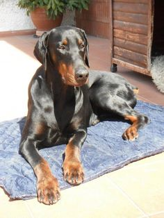 Dobermann with natural ears. Love her #doberman #natural ears